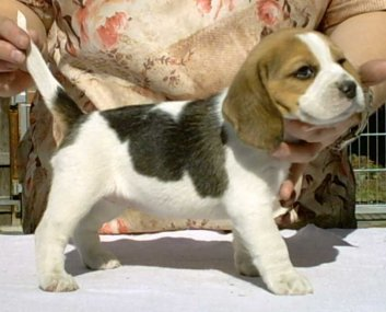 Beagle Ashley